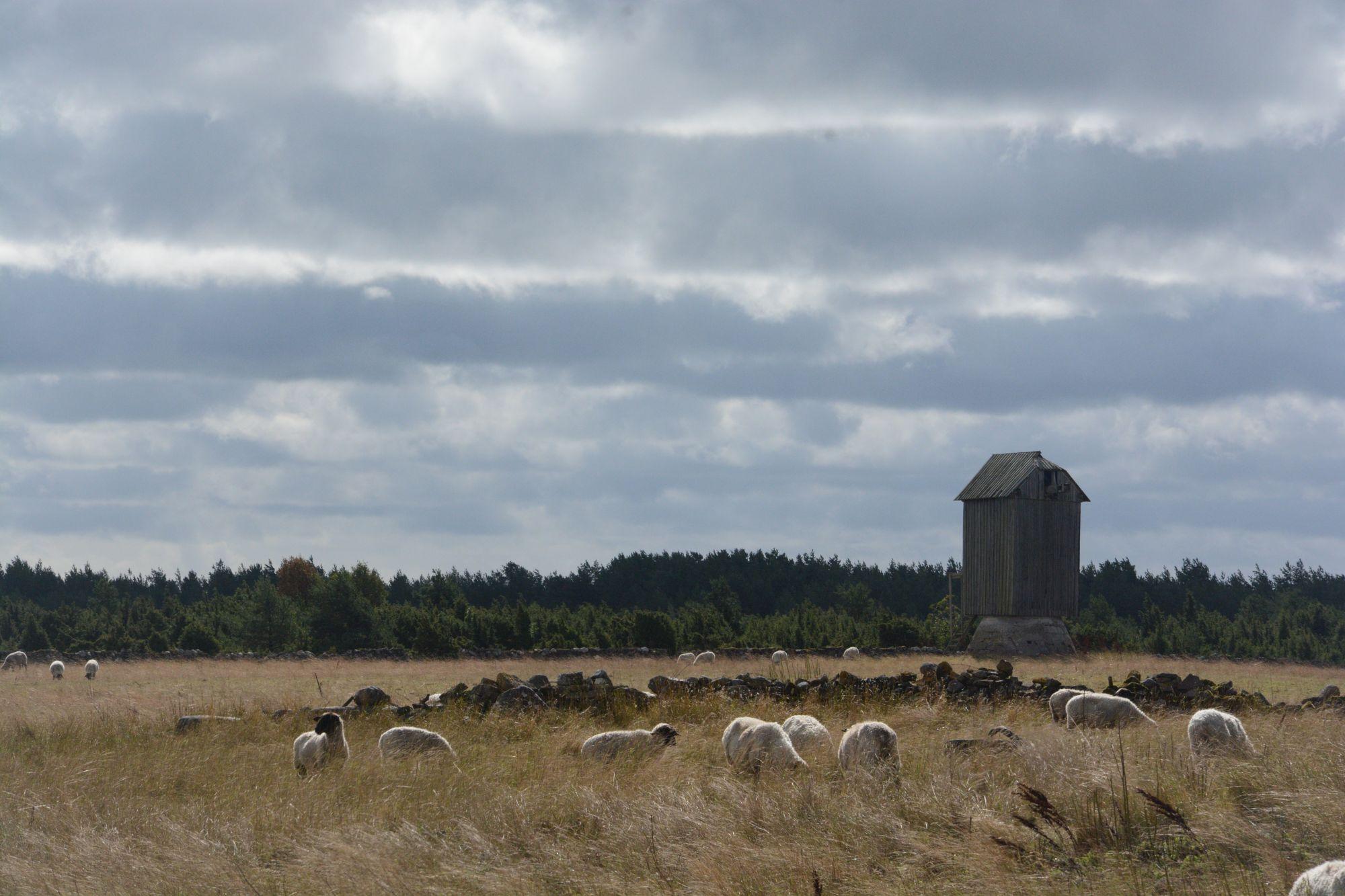 Vilsandi idülliline maastik, mida aitavad hooldada lisaks lammastele ja veistele ka talgulised. Foto: Kadri Paomees.