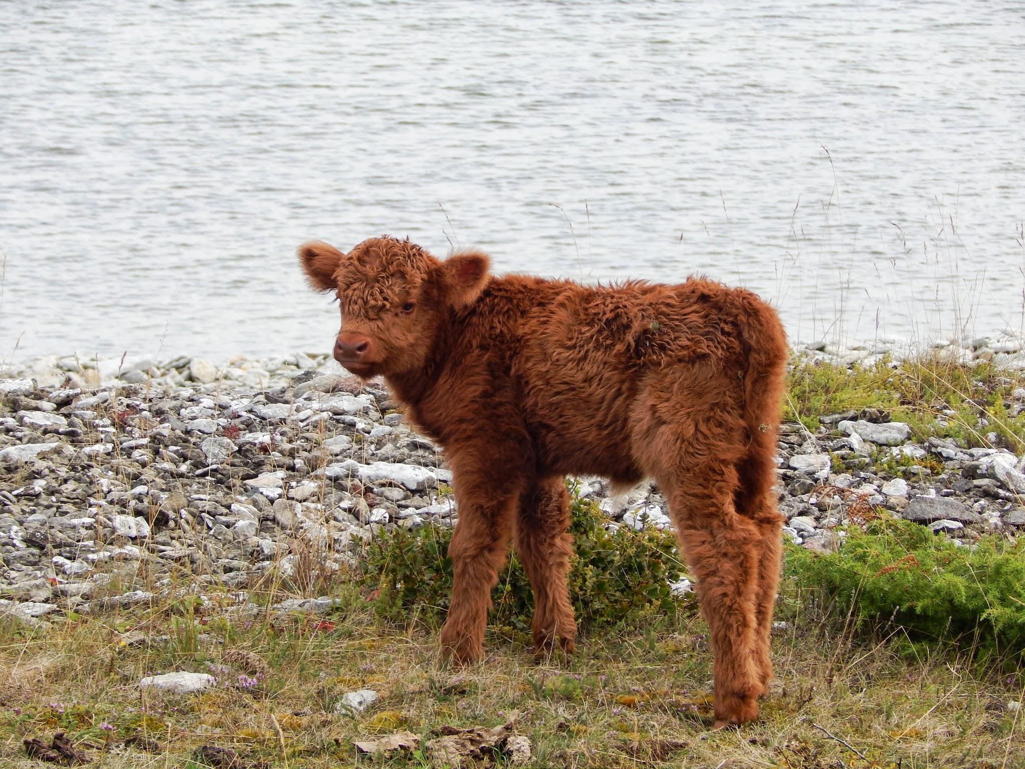 Hullu lehma Böö vasikas üles leitud! Foto: Eve Rohula