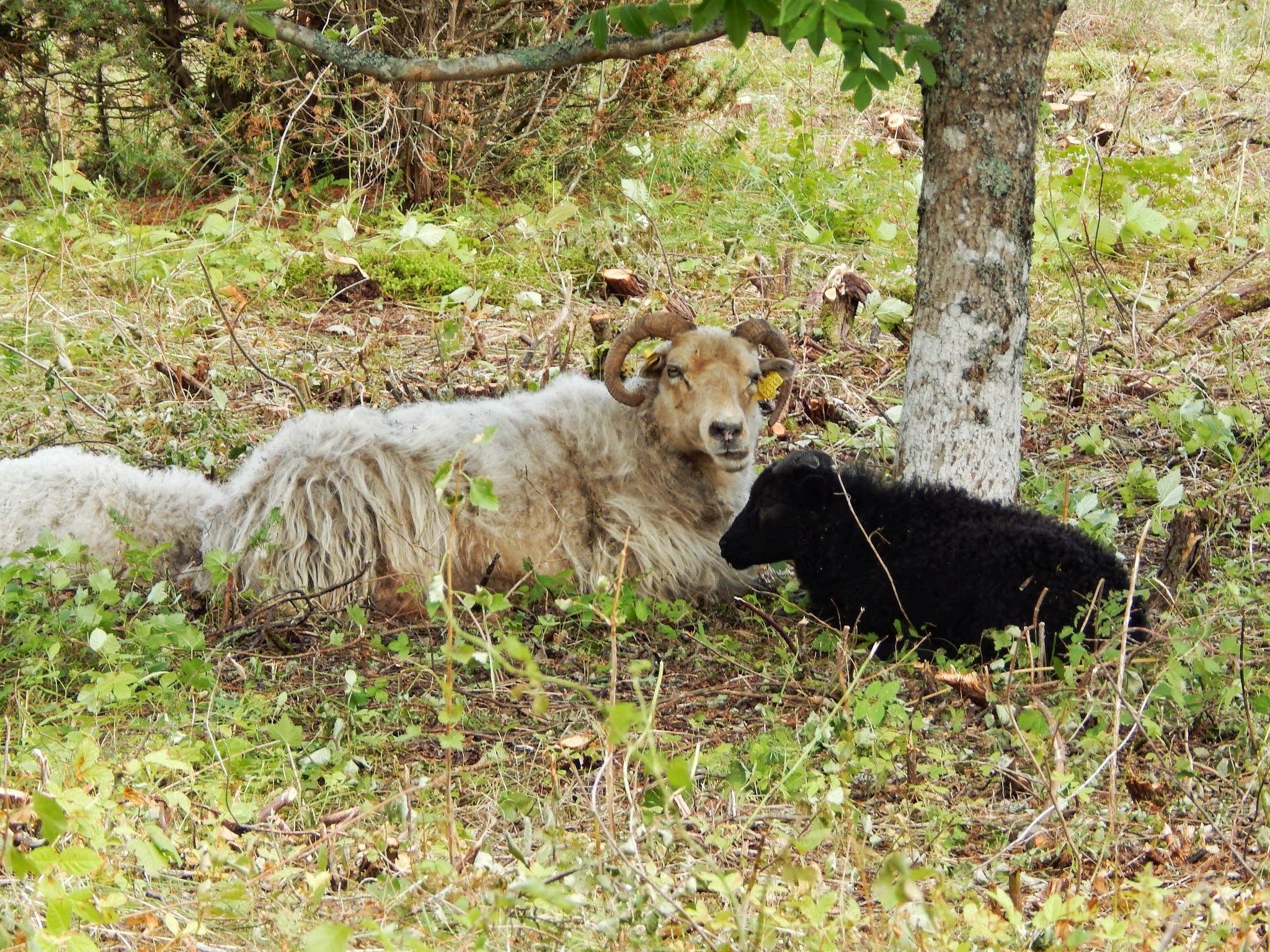 Köki ja Möki lambapere puhkehetkel. Foto: Eve Rohula