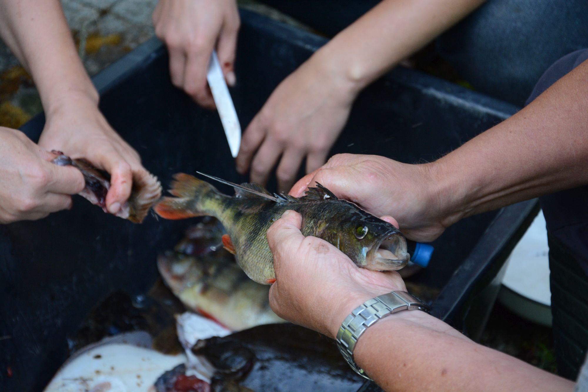 Talgulised abiks kalade puhastamisel. Foto: Kadri Paomees