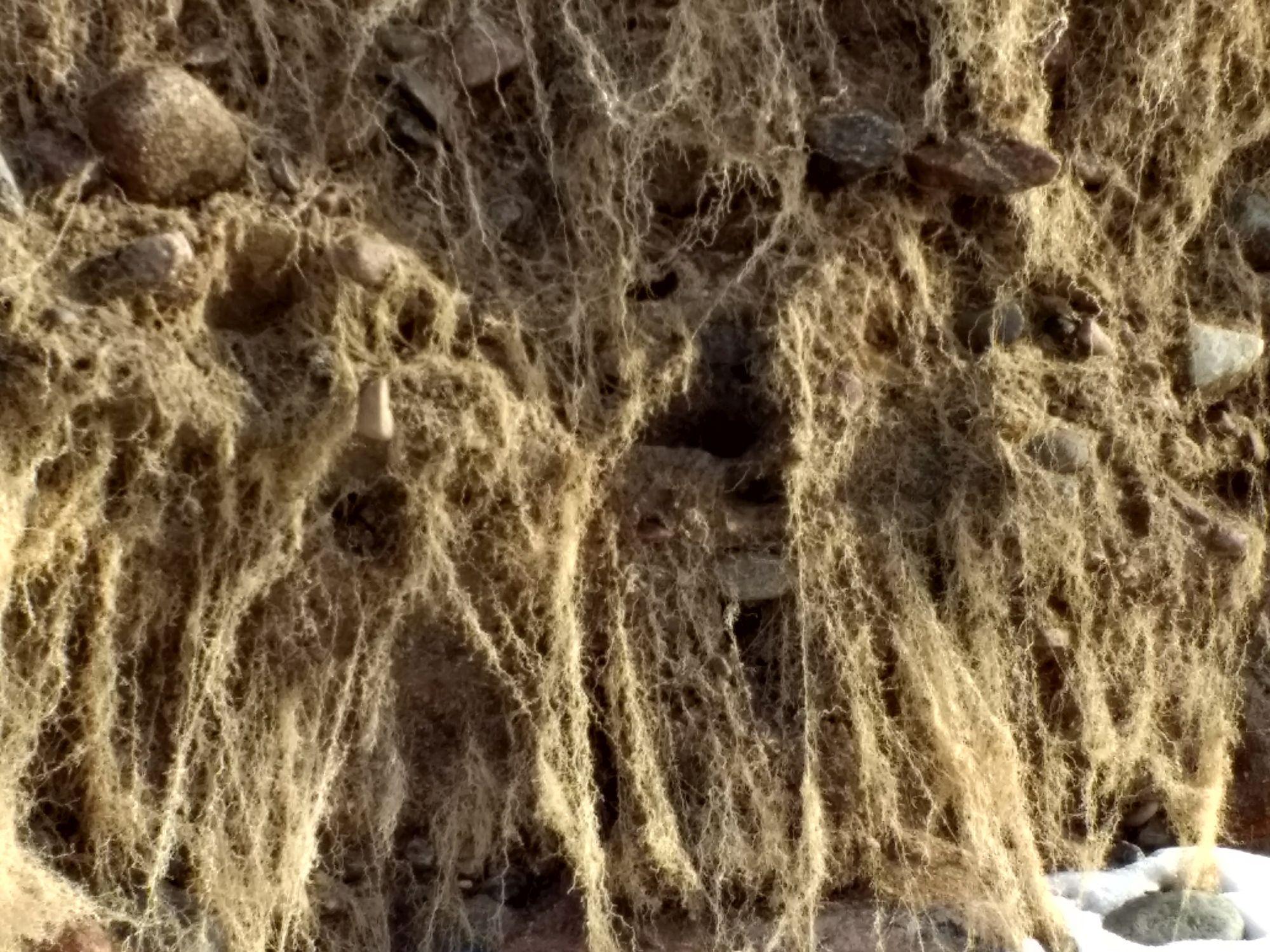 Läänekalda järsak on taimejuurtega tihedasti läbipõimitud. Foto: Kadri Aller.