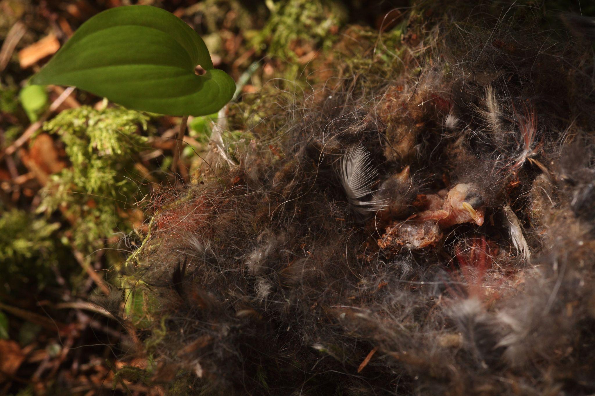 Foto: Kiskluse ohvriks langenud lind/Karl Adami