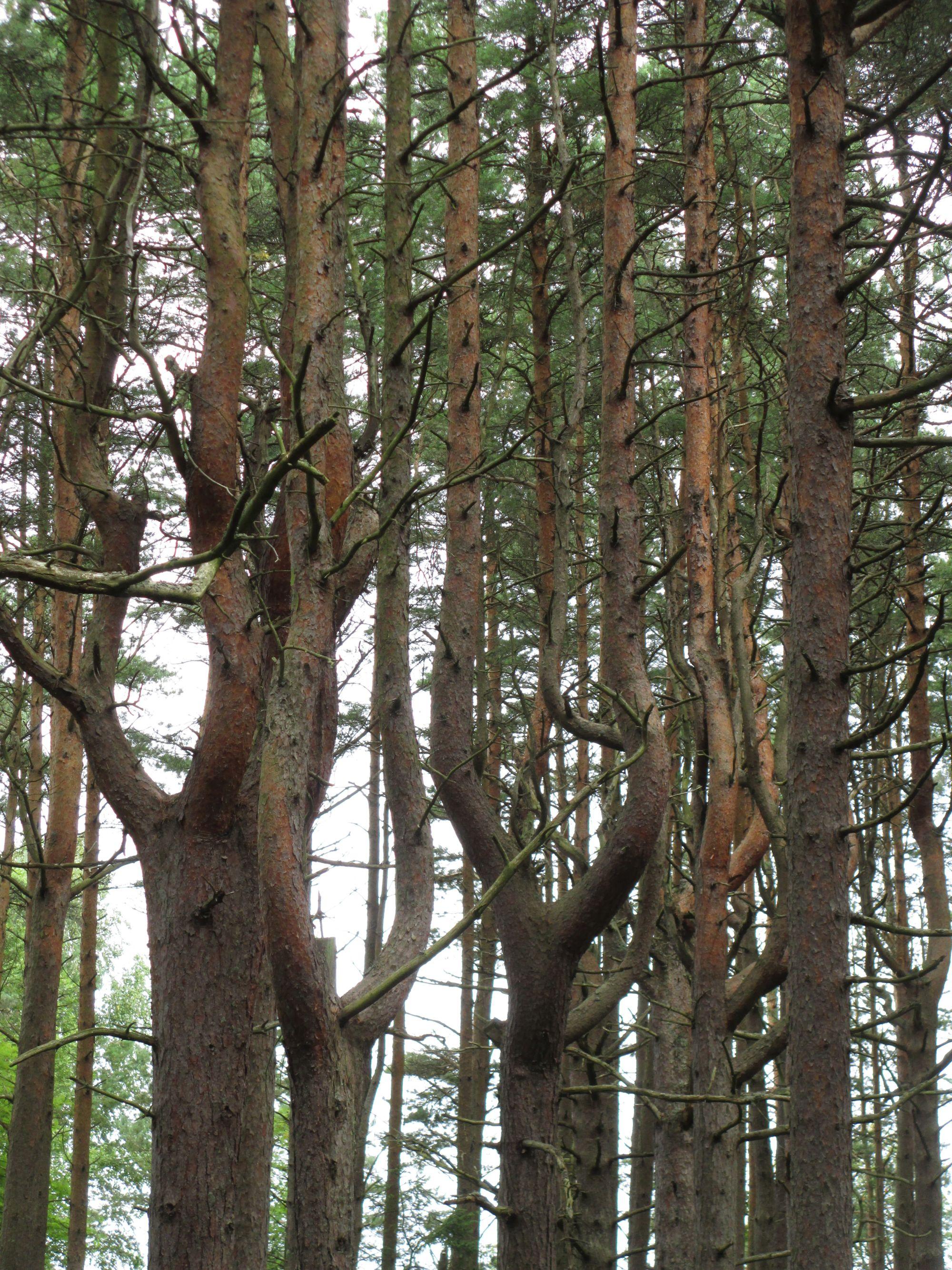 """Aegna """"tantsivad"""" männid muudavad metsa dünaamiliseks."""