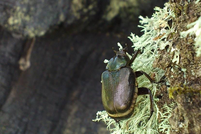 Vana puu õõnsuses elab haruldane eremiitpõrnikas