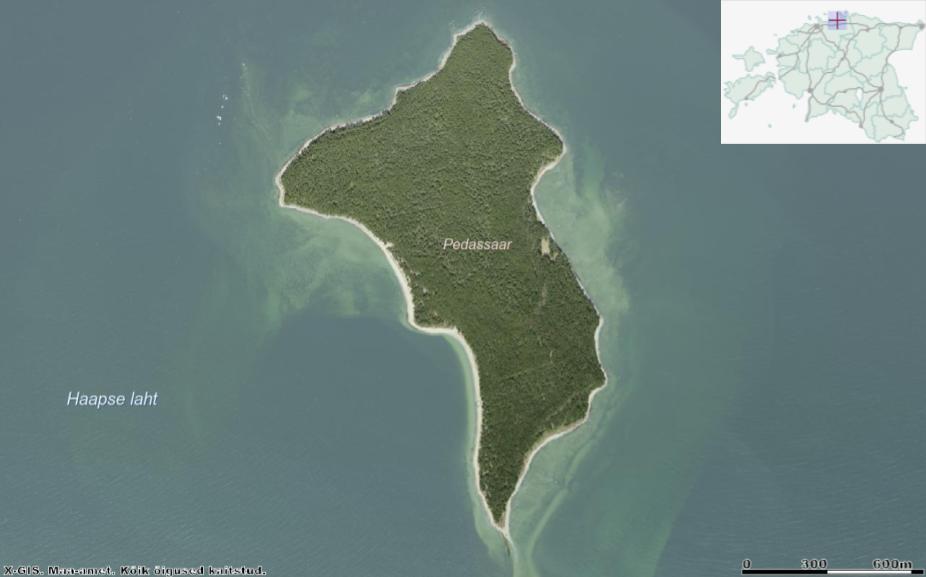 Aerofotolt näeme, et Pedassaar on tihedalt metsaga kaetud. Killuke lagedamat maad leidub vaid saare idakaldal (pildil parempoolse kalda keskosa), kus asub RMK metsamaja. Vasakul ülanurgas meres olevad valged täpikesed on kormoranide poolt palavalt armastatud rändrahnud. Allikas: Maa-ameti Geoportaal.
