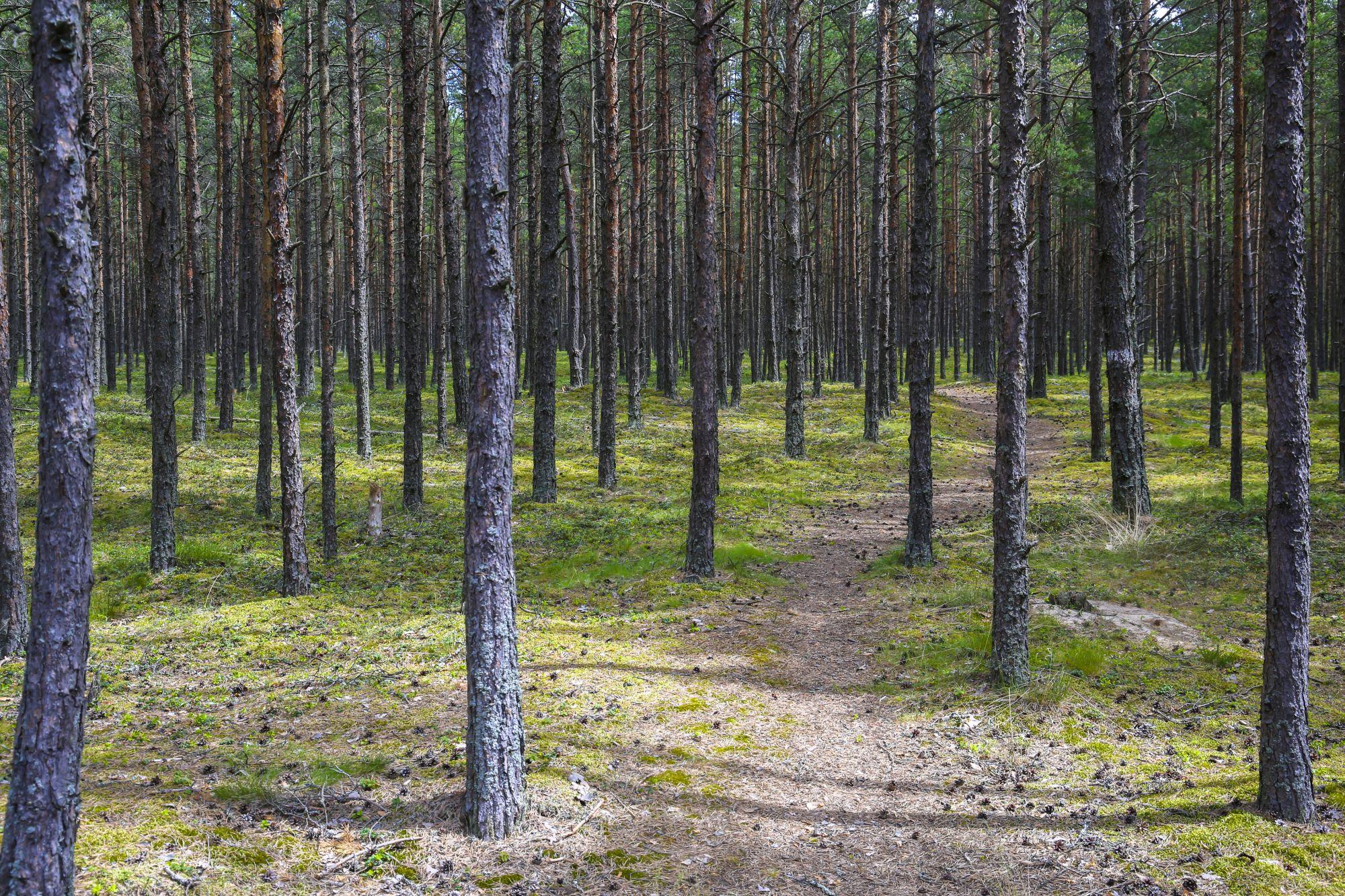 Sellise männimetsaga on kaetud valdav osa Pedassaarest. Kuiv metsaalune on väga tuleohtlik!