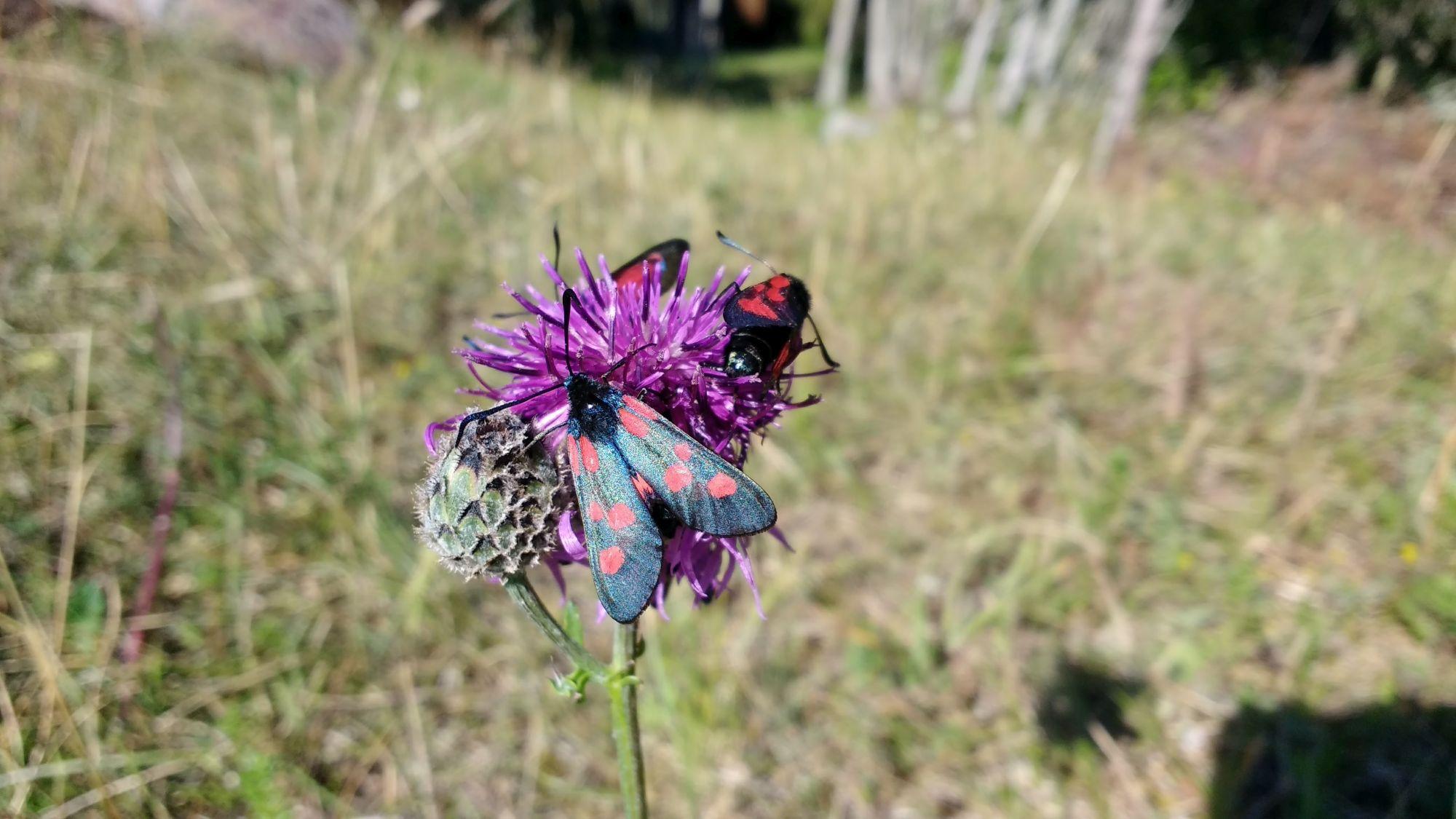 Väike näide Kaevatsi putukamaailmast: Saarehull küll lepidopteroloogi tiitlile ei pretendeeri, kuid siin on tõenäoliselt tegemist verikireslase perekonna esindajatega.