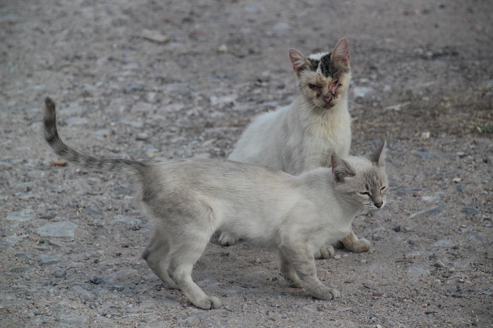 Ka tänaval sündinud kassipoegade esivanemad on kunagiste kodukasside järglased. Foto: Pixabay