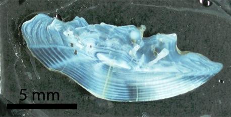 Kala kuulmeluu, ehk otoliit, millel on näha kala eluajal kuhjunud kihid. (Foto: DIFFABS)